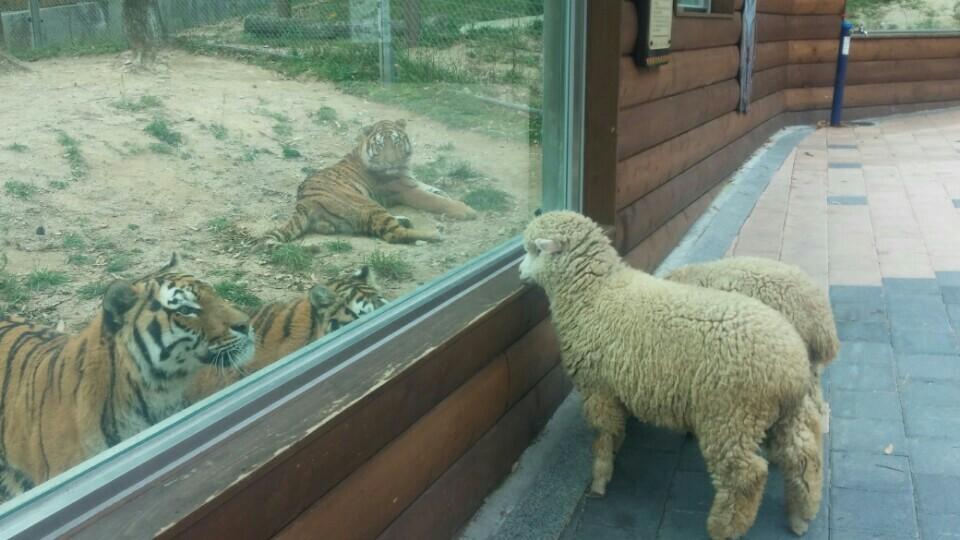 동물 구경은 호랑이가 최고!