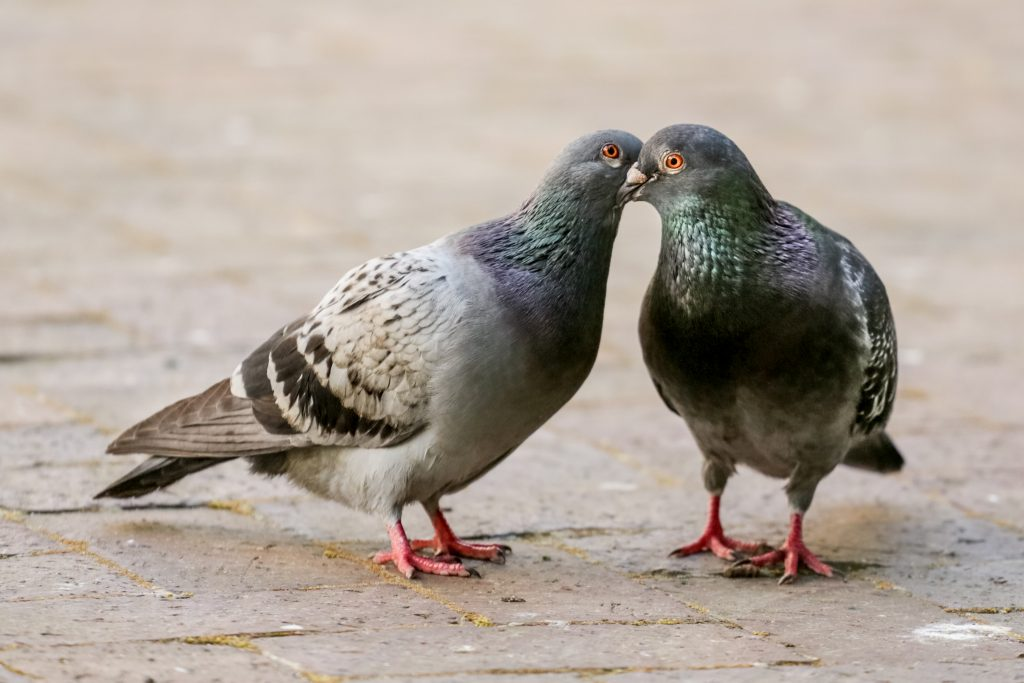 Two pigeon kissing by inter locking their beaks