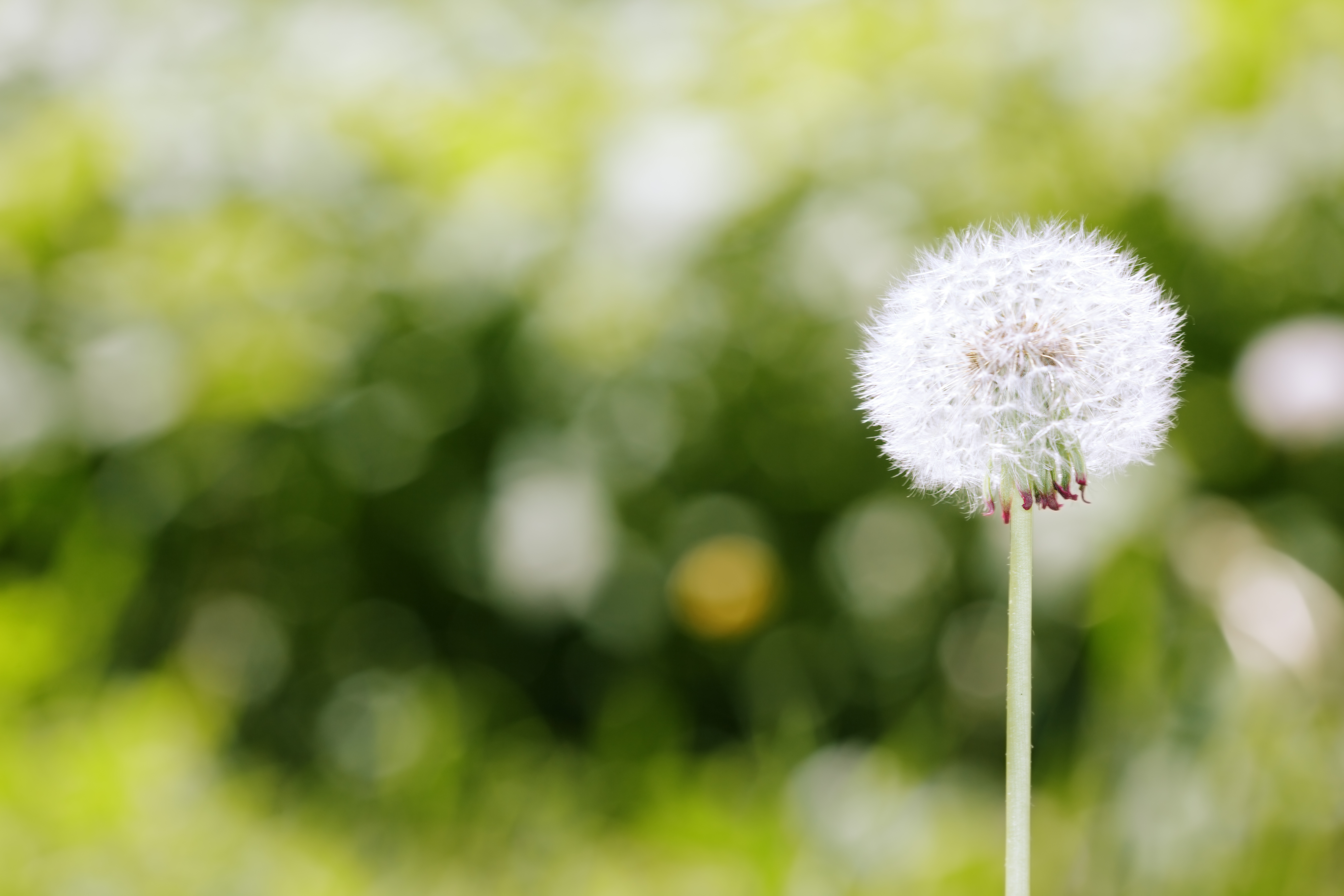 Dandelion on a green meadow background. Close-up photo with bokeh and natural colors