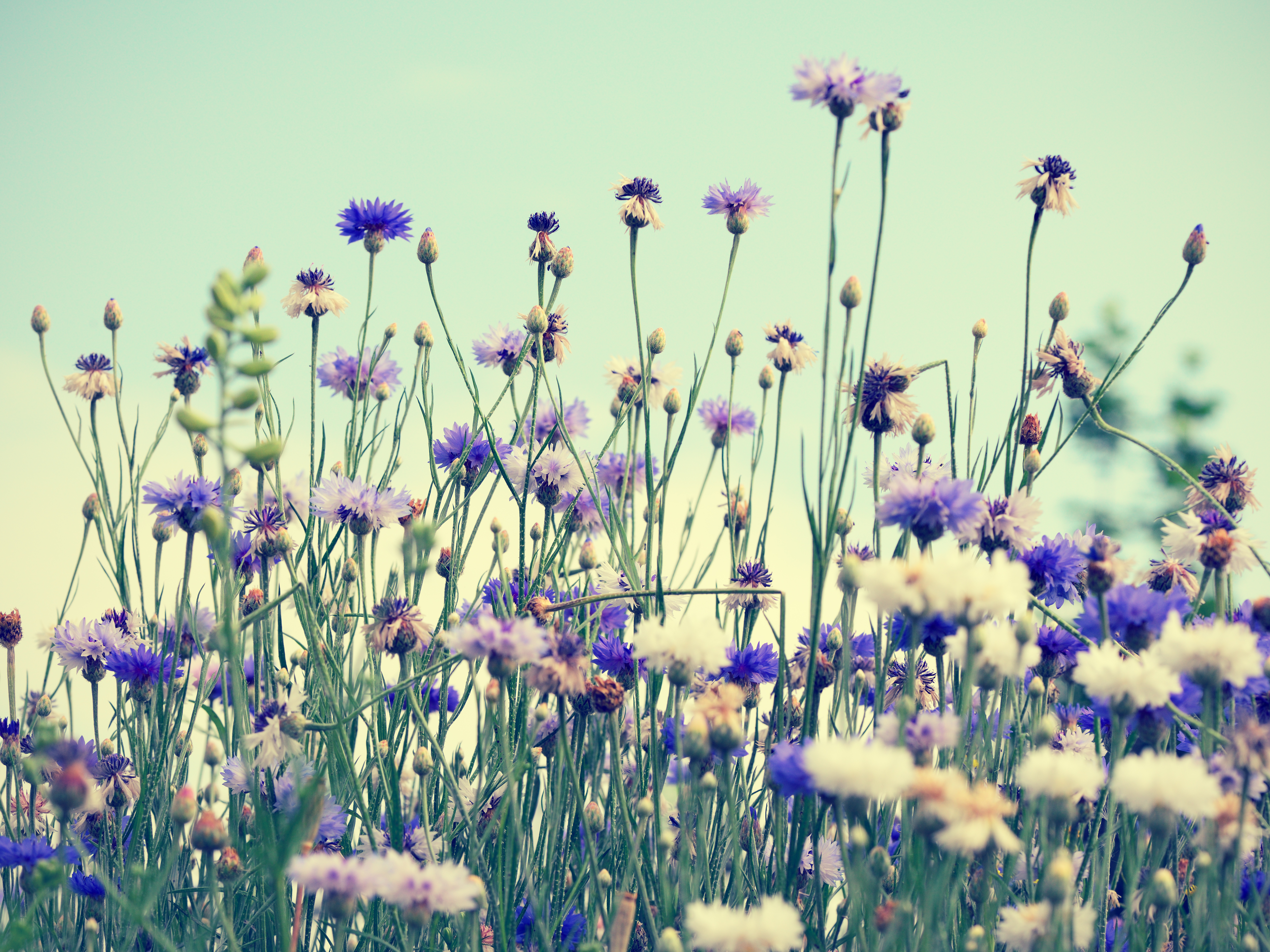 Cornflowers on sky background in retro style